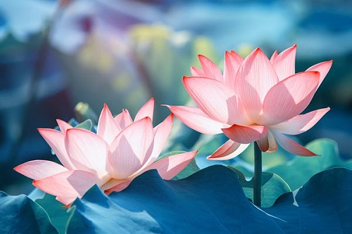 hình xăm hoa sen